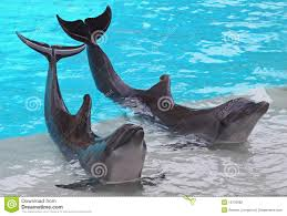 a pair of dolphins stock photography image 10733982