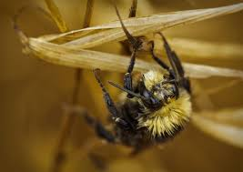 bumblebees aren u0027t picky eaters but they do like variety 80beats