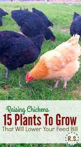 Keeping Free Range Chickens In Your Backyard by Beat The Heat With These Top 7 Tips For Keeping Your Hens Safe And