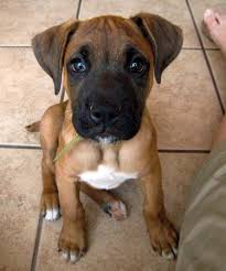 boxer dog origin boxer lab mix a k a boxador u2013 breed info characteristics and