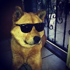 Dog With Glasses Meme - so apparently my dog can rock sunglasses better than most people can
