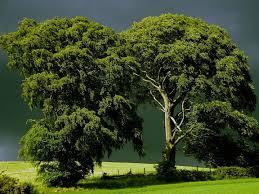 cool trees big tree wallpapers hd beautiful desktop hd wallpapers download