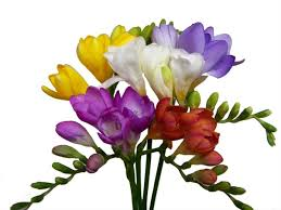 freesia flower assorted freesia freesia flowers and fillers flowers by