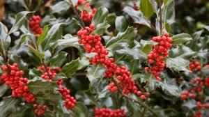 plants native to china holly u2013 ilex u2013 southern living