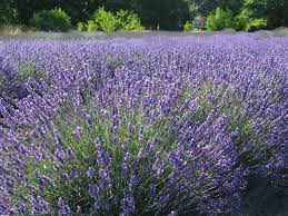 lavender flower seeds rich aroma perennial ornamental flowers