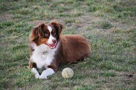 lifespan of australian shepherd miniature american shepherd
