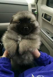 american eskimo dog varieties keeshond mixed with an american eskimo dogs pinterest dog