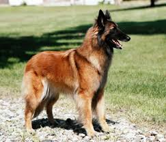 belgian sheepdog registry faults and disqualifications abtc