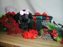 affenpinscher for sale near me maltipoopup com maltipoo puppies for sale