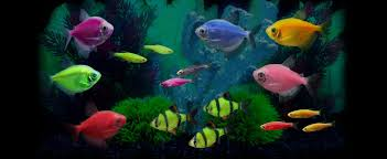 glofish experience the glo glofish in tank