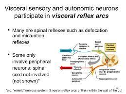 Visceral Somatic Reflex Autonomic Nervous System