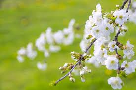 free images nature branch bokeh flower petal spring green