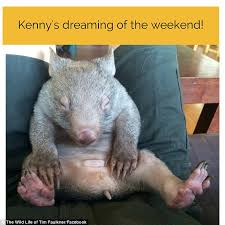 Wombat Memes - kenny the wombat has the internet buzzing with this chilled out