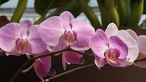 orchids flowers orchids flowers pink purple petals abstracts free photos