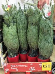potted christmas tree potted real christmas tree tesco 20 hotukdeals