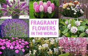 fragrant flowers 20 best beautiful fragrant flowers in the world home gardeners