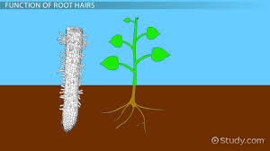 root hairs in plants function u0026 definition video u0026 lesson
