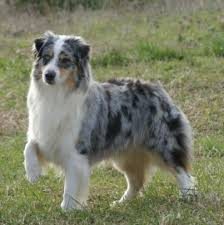 images of australian shepherd 43 best australian shepherd images on pinterest animals