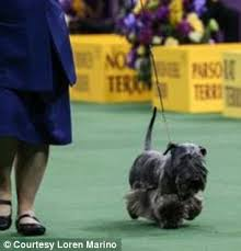 affenpinscher crufts 2016 loren marino with terminal cancer competes at westminster dog show