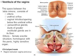 Male Anatomy Perineum Gross Anatomy Of Male U0026 Female External Mbbs Yr Ii