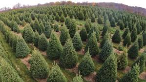 real christmas tree real or artificial fascinating facts about christmas trees the