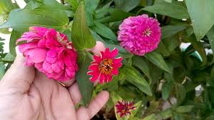Zinnia Flowers 30 Blooming Zinnia Flowers Hindi Urdu 15 5 16 Youtube