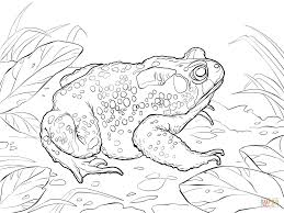 american toad coloring free printable coloring pages