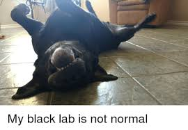 Black Lab Meme - my black lab is not normal black meme on astrologymemes com