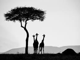 richard garvey williams giraffes in kenya world photography