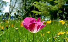 pink tulip field grass nature focus hd wallpaper