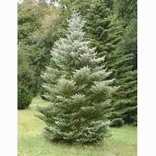 evergreen tree search plants for sun