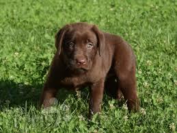 afghan hound and labrador retriever ruby labrador retriever puppy for sale euro puppy