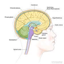 Brain Stem Anatomy Brain Stem Patient Siteman Cancer Center