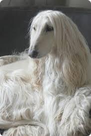 afghan hound judith light 26 best hypoallergenic pets images on pinterest animals google