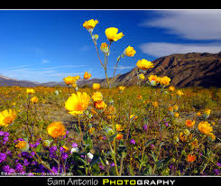 into the wild desert wildflowers of anza borrego just two u2026 flickr