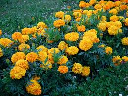 Summer Flowers For Garden - garden flowers u2013 tagetes as the best garden decor hum ideas