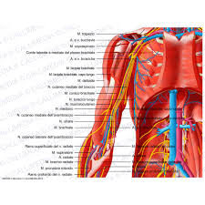 Shoulder And Arm Muscles Anatomy Shoulder Arm Elbow Anterior View Deep Muscles Blood Vessels