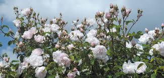 Fragrant Climbing Plant - most fragrant climbing roses david austin roses
