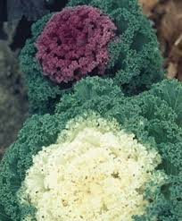 flowering kale cool season ornamental beautiful color