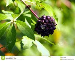 wild ginseng with berries stock photo image 45144002