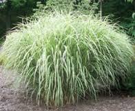 best ornamental grasses for creating a screen