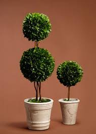 Topiary Balls With Flowers - best 25 eugenia topiary ideas on pinterest topiaries topiary