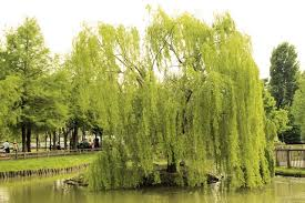 how to care for a weeping willow tree hunker