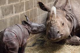 indian rhino calf offers hope for all endangered species u2013 buffalo