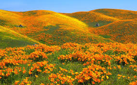 california poppies popping up all over