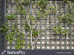 espalier tree on trellis 2 picture