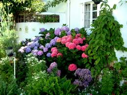 changing the color of hydrangeas
