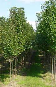 tree stock hoss tree farm big trees for less money family