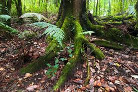 Plants That Grow In Tropical Rainforests Mossy Roots Of Giant Tree And Fern Growing In Deep Mossy Tropical