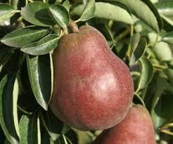 Online Fruit Trees For Sale - pear trees for sale buy fruit trees online